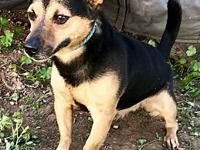 My story Foxy boy is a 3 year old min pin terrier mix.