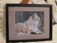 This 8x10 photograph of a bobcat resting is matted and