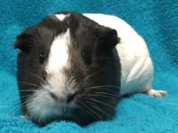 Fran Fran is a female black and white American guinea