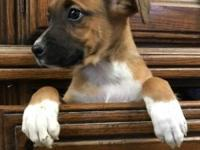 Hi I'm Francine an 8 week old female boxer mix. I am