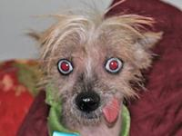 frank's story WAGS Welcomes the Chinese Crested twins.