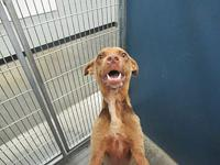 Frank's story FRANK SHELTER BREED: LAB MIX MALE, 1 YR,