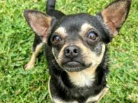 Meet Frankie the adorable Chi with the cute underbite.