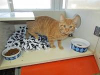 2 year old male orange tabby, indoor home only,