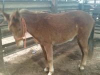 Franklin is a four year old gelded mule between 13-13.2