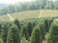 Fraser fir 5-10', #1's and #2's cut fresh and bailed