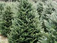 nc fraser fir christmas trees wholesale orders 4 10 - American Sales Christmas Trees