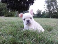Tony is a cream female French Bulldog puppy that will