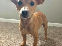 Fred's story Fred is a male chihuahua/dachshund mix and