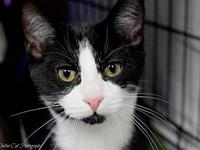 Fred's story Adorable DSH Black & White Tuxedo Male