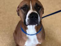 Fred male brown, black &white  boxer/ pit mix 1-2 years