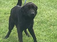 My story FRED is a 2-year-old neutered male black lab.