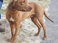 Freddie is a medium sized male Cur, tan and white in