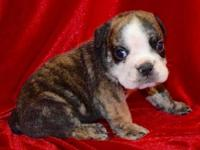 Freddy is a fawn sable male English Bulldog puppy with