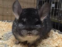 We have a standard grey female chinchilla who is