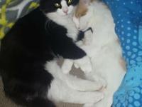 Animal Type: Cats Breed: Kitten Sweet, playful,