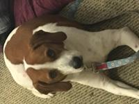 Bella is a house trained 2yr old hound/beagle female