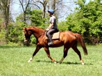 Nellie is a sweet gentle 21 yr old QH/Draft cross mare