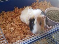 Today only..3 female guinea pigs for free. Must be