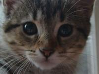 Tigerlilly is a sweet, playful young kitten that is in