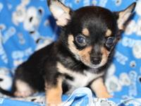 Chico is black and tan in color and weighs about 9