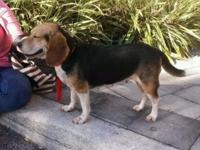 3-year old female beagle. Owner is leaving and can't