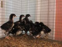 Free Bearded Bantam Silkie Roosters AND Black Copper