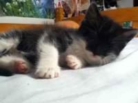 Free cute 6 1/2 week old kitten to good home. Was the