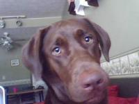 Bailey is a 3 yr old Chocolate lab. She is already