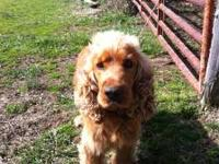 Dusty is a 3 yr old male cocker spaniel that is house