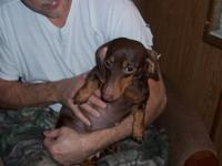 I have a chocolate and tan female Dachshund to hand