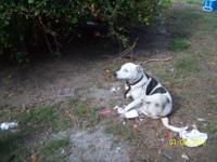 FREE DOG. Large dog female bluehealer/catahula female