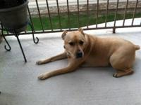 Free to good home, 2 yr old female lab/catahoula mix