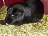 Free black and tan guinea pig. Comes with the cage,