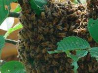 Call  as soon as you see a honeybee swarm hanging from