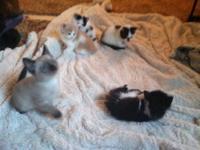 Litter of four kittens. Five weeks old. Available