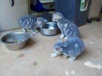 They are about 7 weeks old, all gray/silver in color.