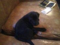 FEMALE BLACK LAB MIX....... PLAYFUL........ NEEDS