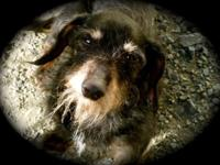 Predicament is one of the 9 Dachshund and