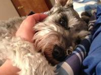 Looking to give miniature schnauzer to a nice home. She