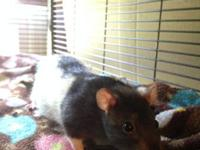 I have three female pet rats that need a good caring