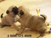 Animal Type: Dogs Breed: Pug Beautiful Color. These