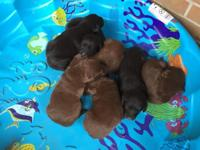 Lab mix puppies, 6 weeks old. There are three chocolate