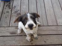 He is half Beagle and half Terrior. He has his shots.