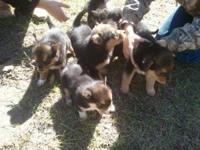 Blue heeler / german sheperd pups . Mom is 30 pounds