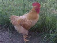 2 roosters to give away not sure of the breeds. Please