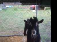 2 yr old Sable Dairy Goat Billy FREE>> You must come