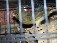 Free, Free, Free. I rescued a canary from a pet/feed