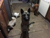 Chevy is an excellent 11/2 year old German Shepard.