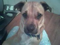Description I have a 2 yr old boxer/akita mix male dog